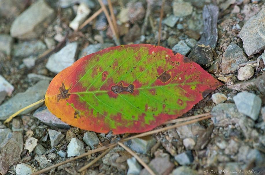 HSNP Floral Trail Autumn Leaf