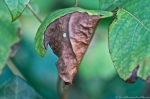 HSNP Fountain Street Dried Leaf