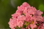HSNP Fountain St. Pink Crepe Myrtle