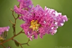HSNP Fountain St. Red Crepe Myrtle