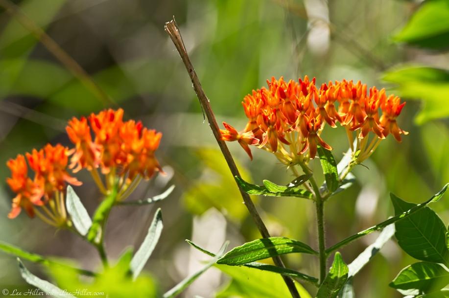 HSNP Goat Rock Trail Orange Butterfly Weed