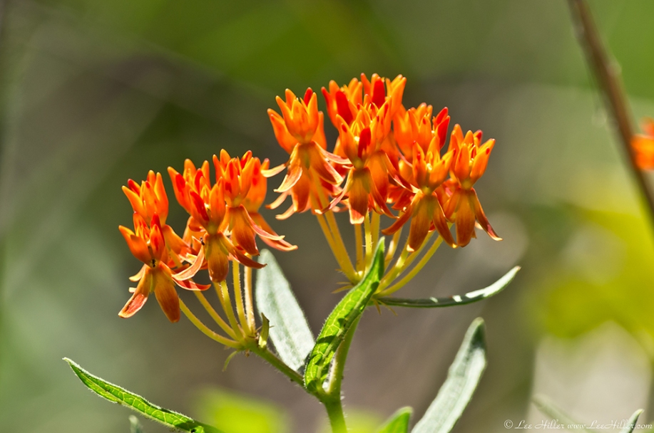 HSNP Goat Rock Trail Orange Butterfly Weed