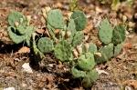 HSNP Gulpha Gorge Trail Prickly Pear Cactus