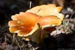 HSNP Hot Springs Mountain Trail Red Fungi