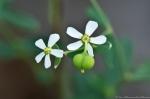 HSNP Lower Dogwood Trail Flowering Spurge