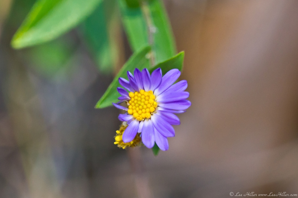 HSNP North Mountain Loop Aster