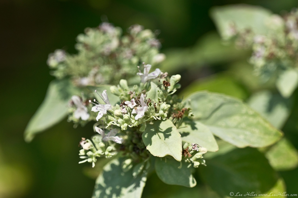 HSNP North Mt Loop St. White Mountain Mint