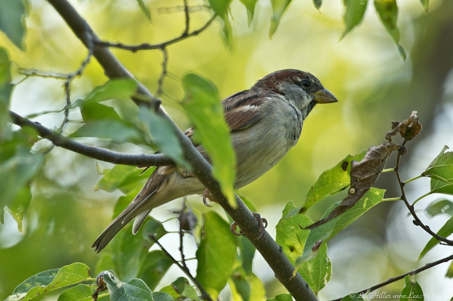 HSNP Promenade Male House Sparrow