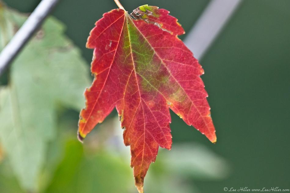 HSNP Promenade Early Autumn Leaf