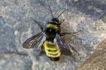 HSNP Fountain Street Bee