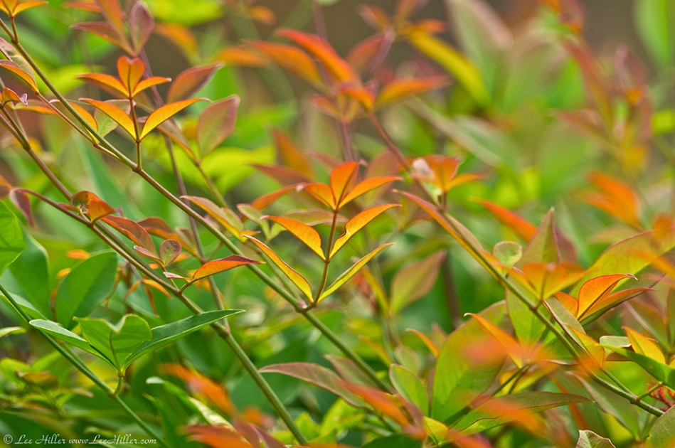 HSNP Promenade Colorful Bush