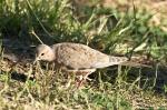 HSNP Promenade Juvenile Mourning Dove