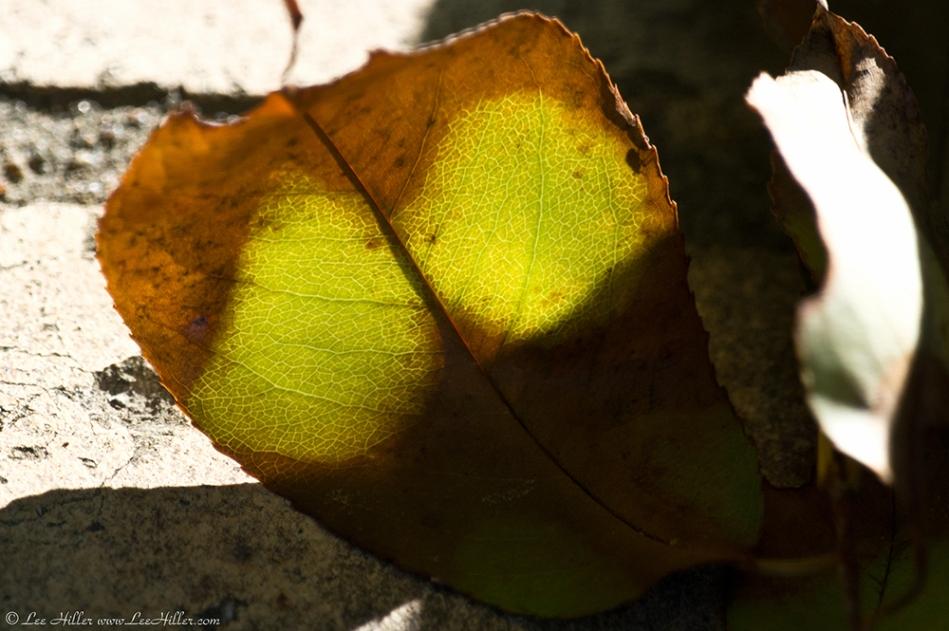 HSNP Promenade Glowing Leaf