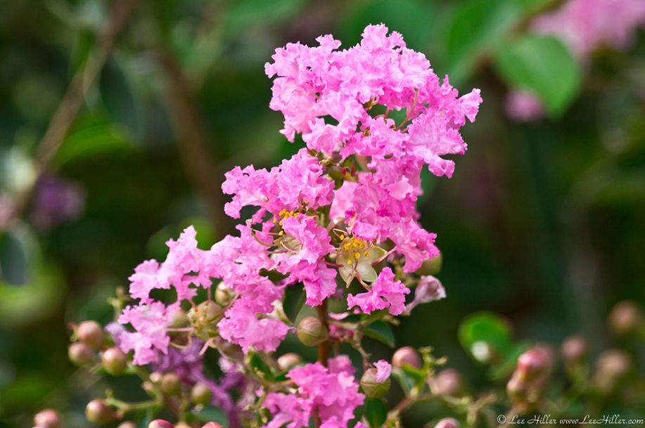 HSNP Promenade Pink Crepe Myrtle