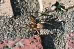 HSNP Promenade Spider
