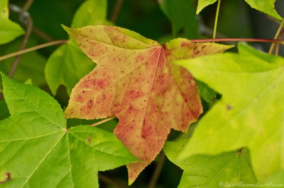 HSNP West Mountain Canyon Trail Autumn Leaf