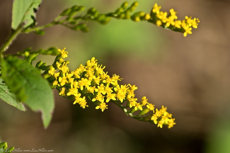HSNP West Mountain Oak Trail Goldenrod