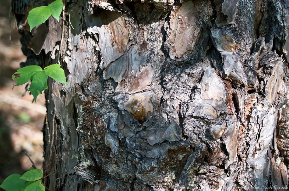 HSNP West Mountain Oak Trail Pine Sap