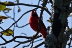 HSNP West Mountain Sunset Trail Male Cardinal