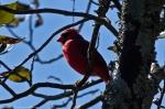 HSNP West Mountain Sunset Trail Male Cardinal
