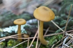 HSNP West Mountain Trail Golden Fungus