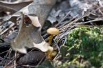 HSNP West Mountain Trail Golden Fungus