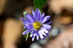 HSNP West Mountain Trai Aster