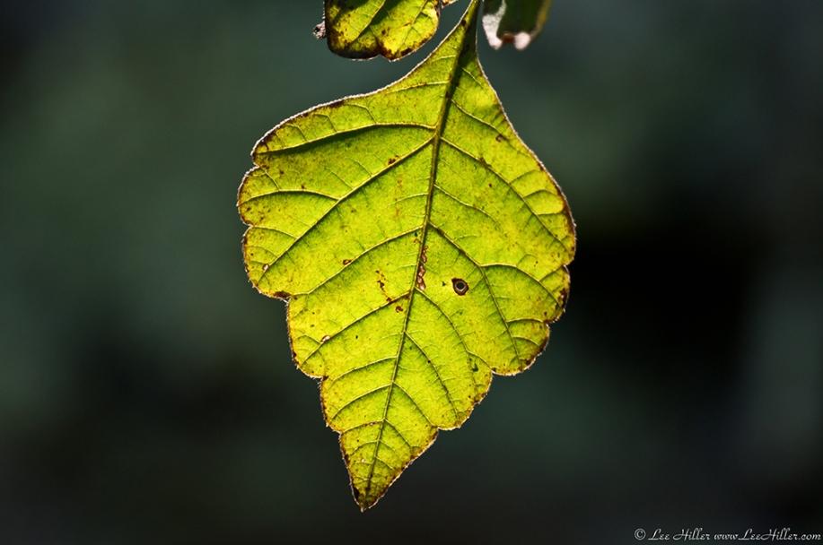 HSNP West Mountain Trail Glowing Leaf