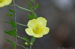 HSNP West Mountain Trail Yellow False Foxglove