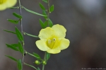 HSNP West Mountain Trail Yellow False Foxglove