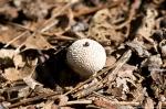 HSNP West Mountain Trail Fungus Button