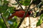 HSNP Fountain Street Male Cardinal