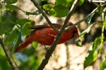 HSNP Fountain Street Male Cardinal