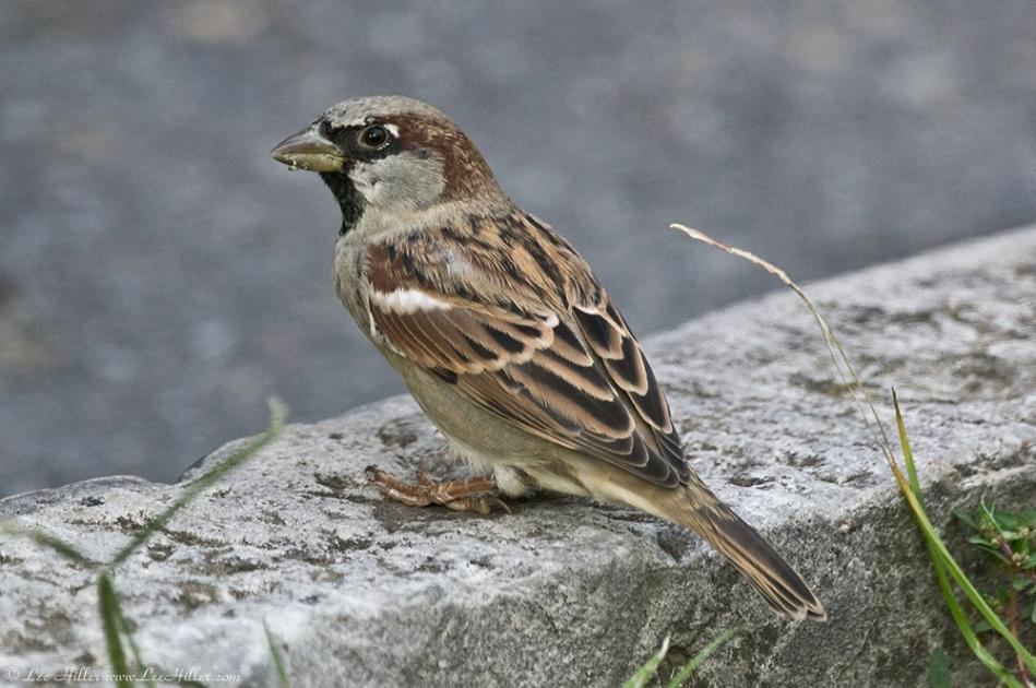 HSNP Fountain Street Male House Sparrow