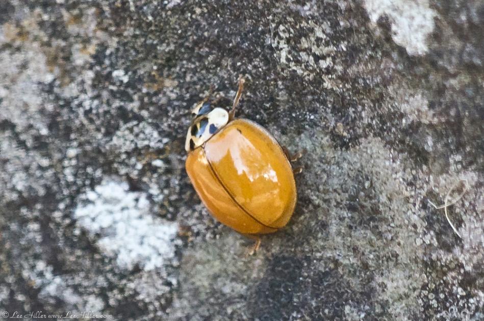 HSNP Fountain Trail Spotless Yellow Ladybug