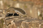 HSNP Fountain Trail Run-Away Squirrel