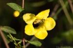HSNP Fountain Trail Yellow False Foxglove