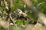HSNP Promenade Baby Mockingbird