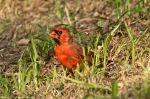 HSNP Promenade Molting Male Cardinal