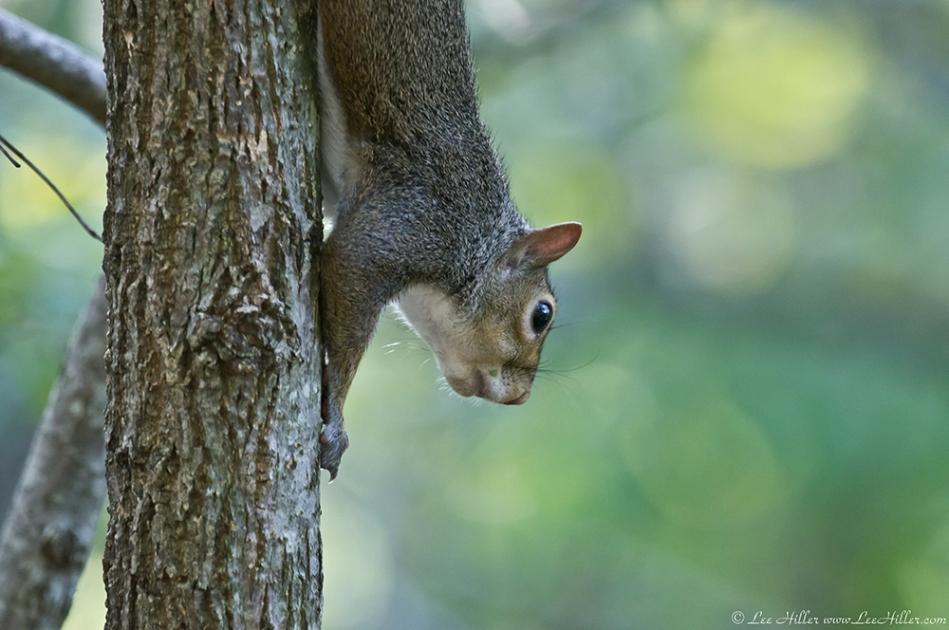 HSNP Promenade Young Female Squirrel