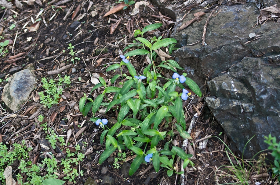 HSNP Carriage Road Dayflower