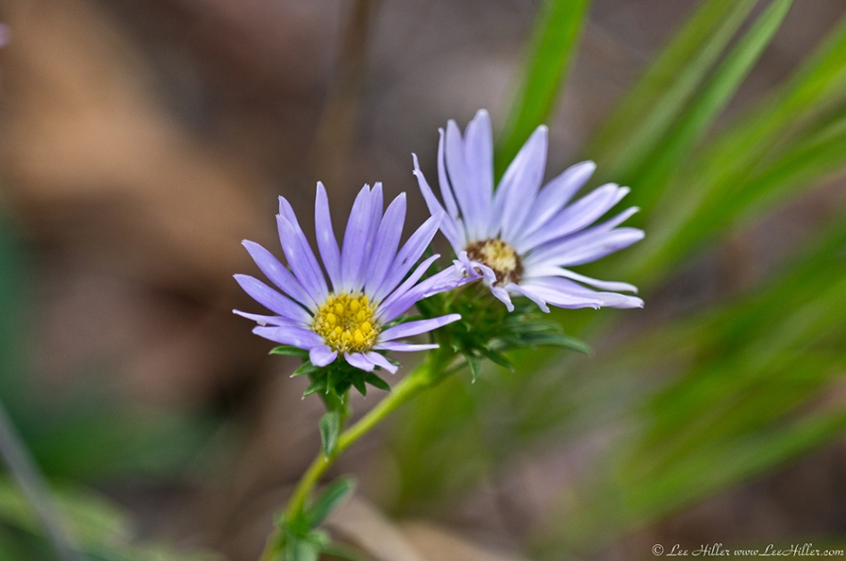HSNP Floral Trail  Aster