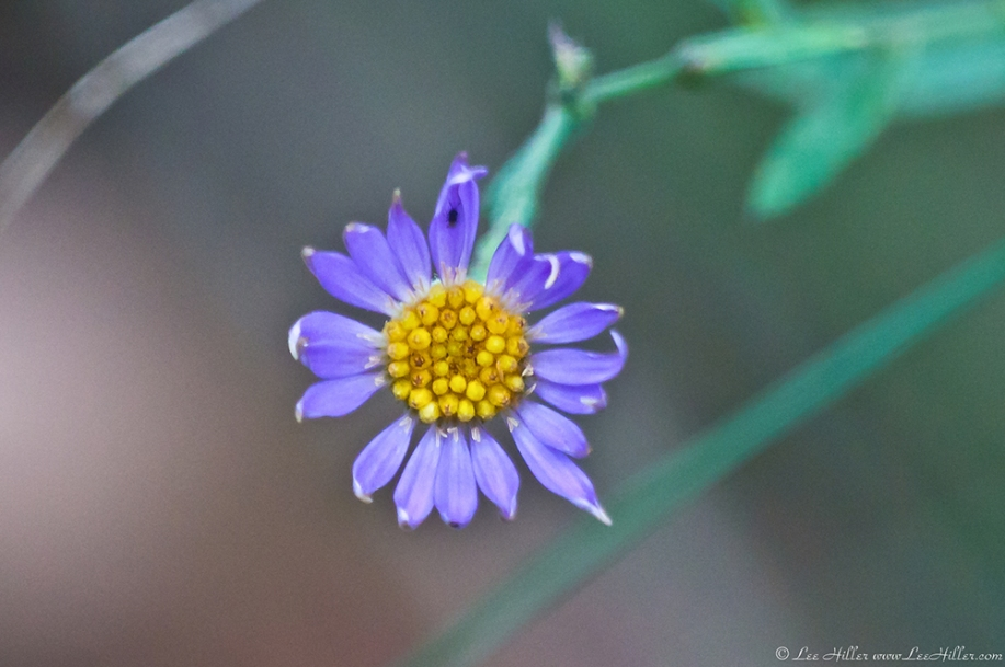 HSNP Hot Springs Mt Trail Aster