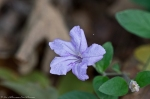 HSNP Hot Springs Mt Trail Smooth Petunia