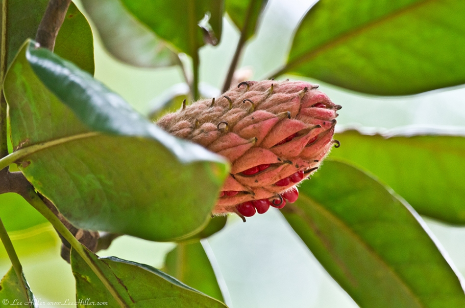 HSNP Southern Magnolia Seed Pod
