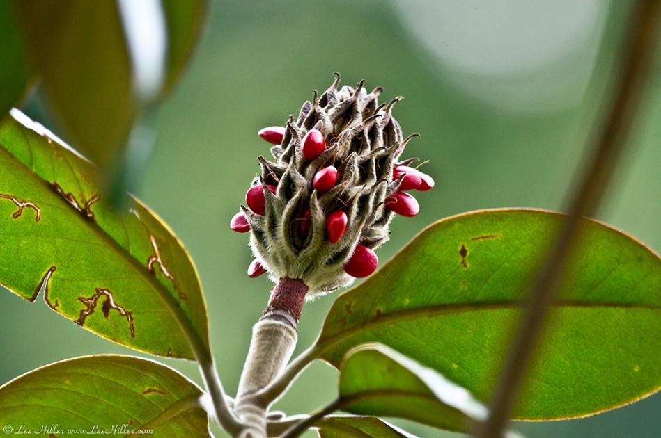 HSNP Southern Magnolia Seed Pod