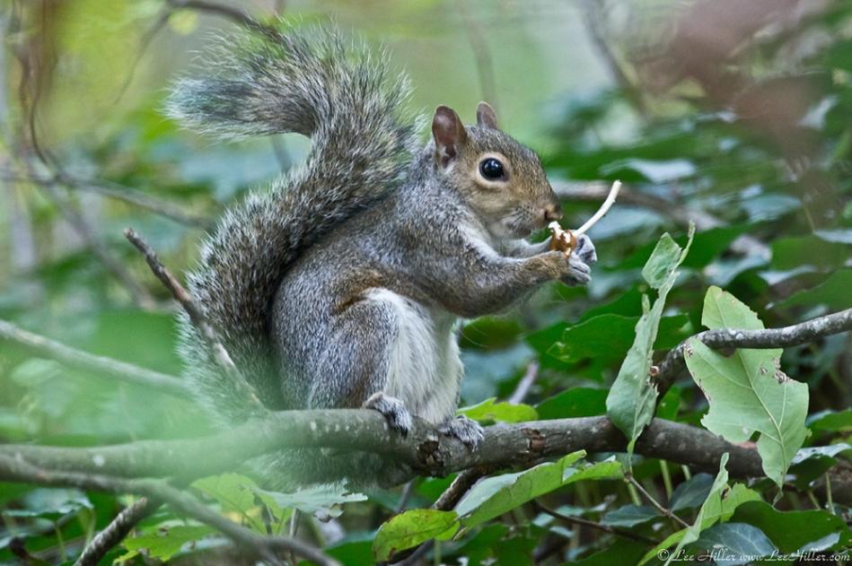 HSNP Fountain Trail Squirrel eating fungus at Twilight