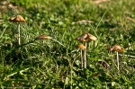 HSNP Fountain Lawn Fungi at Twilight
