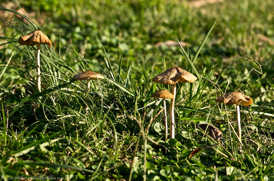 HSNP Fountain Lawn Fungi at Twilight