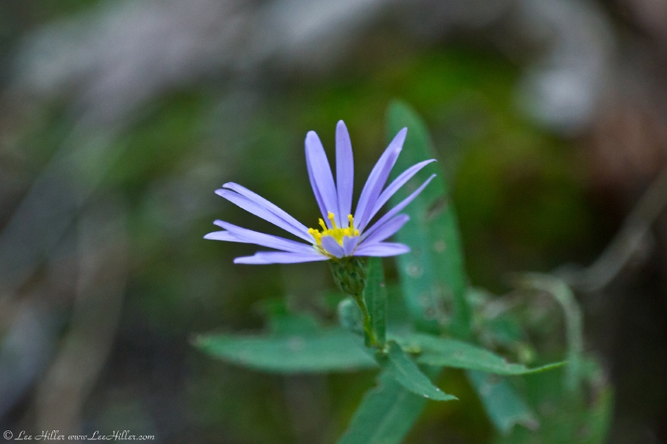 HSNP Lower Dogwood Trail at Twilight Aster